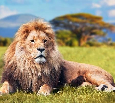 Greedy Lion